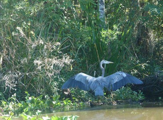 Houma, LA: Great Blue Heron Mandalay Refuge