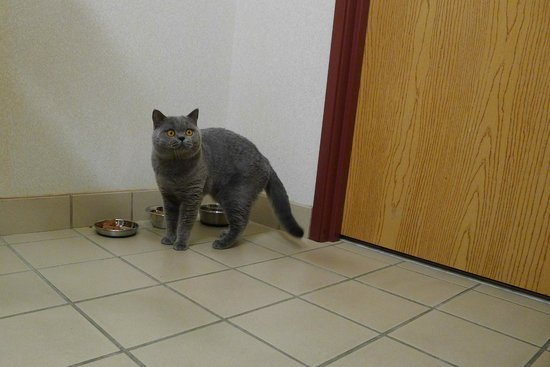 Dollinger's Inn & Suites: Our British Shorthair Thor enjoys the facilities