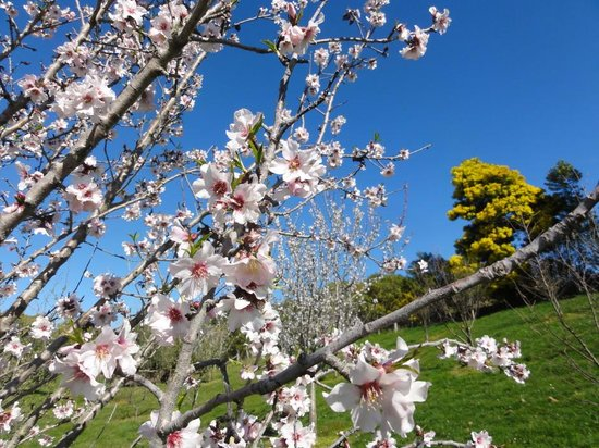Pine Hill Lodge: Almond Flowers from the garden
