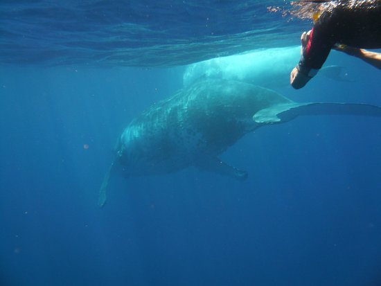 Ha'apai Islands, Tonga: Swimming with humpbacks