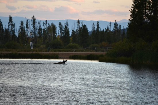 Moose Lake Lodge, LLC: A moose swimming across the lake (taken from the deck of the Elk House)