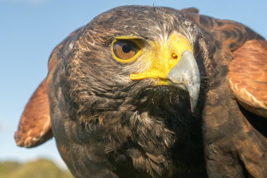 East Sussex Falconry: Ash the Harris Hawk