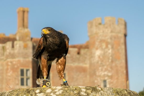 East Sussex Falconry: Cedar the Harris Hawk