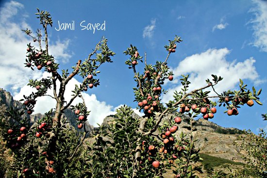 Apple Orchard Farm and Camping: Apple trees of Apple Orchard Farm & camping