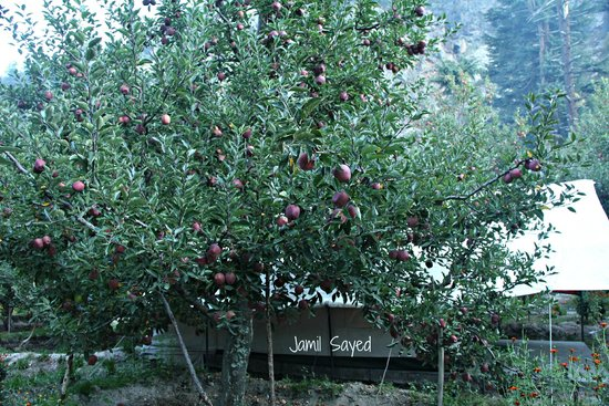Apple Orchard Farm and Camping: Tent under the apple trees