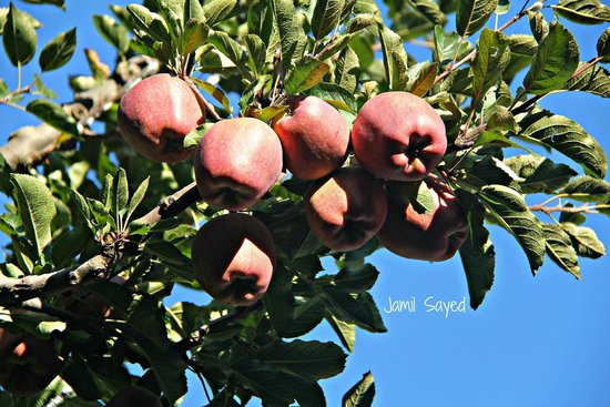 Apple Orchard Farm and Camping: Apples of Mr. Negi