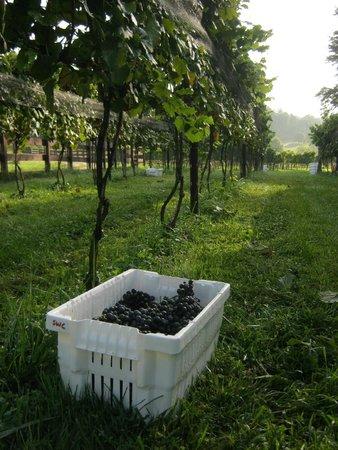 Stonewall Creek Vineyards : merlot