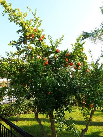 Akrathos Beach Hotel: Drzewo granatu