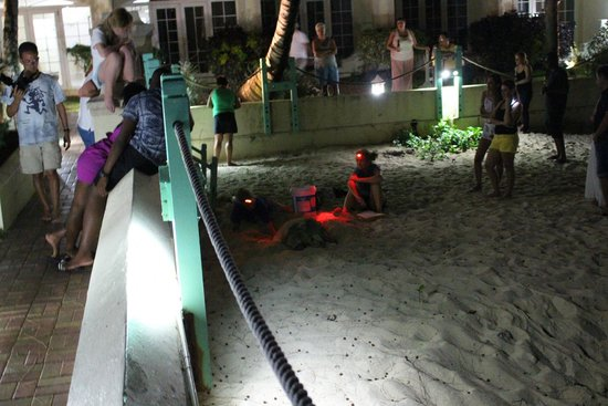 Coral Mist Beach Hotel: Mother turtle laying eggs. Barbados Sea Turtle Project on hand.
