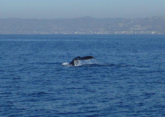 Dana Point, CA: Dolphins