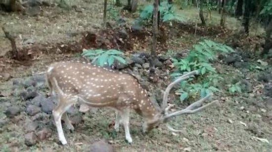 Deer Park: Spotted deer