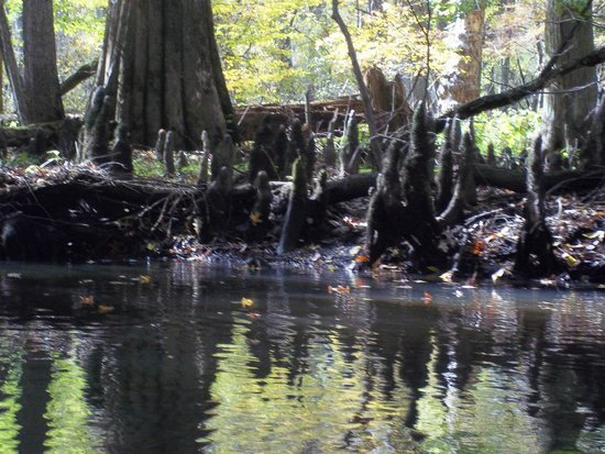 Pocomoke River Canoe Company: Cypress trees and thier knees lined the banks of the creek.