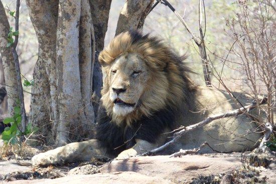 Metsi Lodge : Lions snoozing