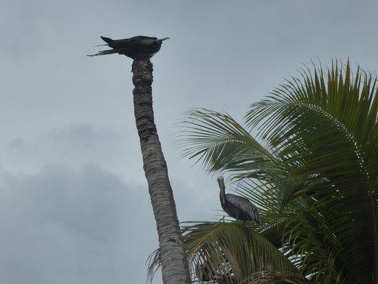 Silk Caye: Pelican and Gull? on the Caye