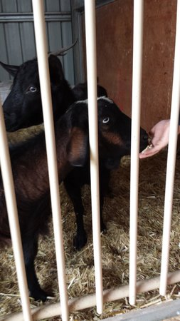Lavendale Farm: Feeding the goats