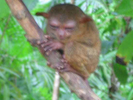 Tarsier Conservation Area: Eye-to-eye with a Tarsier