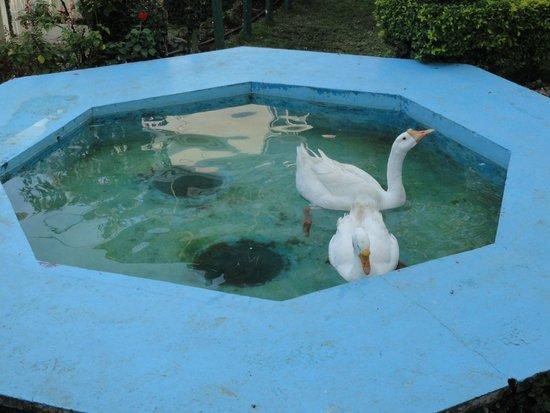 Igloo Nature Resort: Swans in a mini pool
