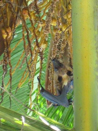 Veligandu Island Resort & Spa: pipistrello