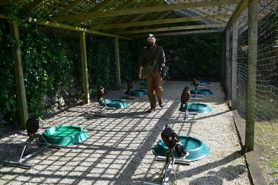 Falconry: Apprentices Part 1 - YouTube