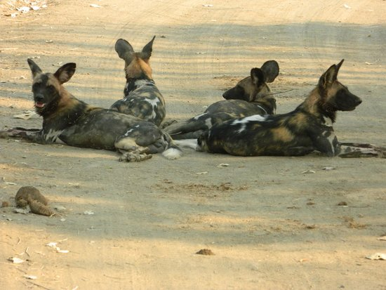 Thornicroft Lodge: Wild dogs, wow!