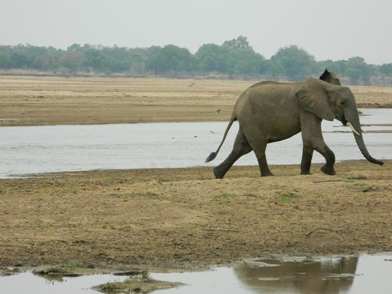 Thornicroft Lodge: Elephant striding out of the river