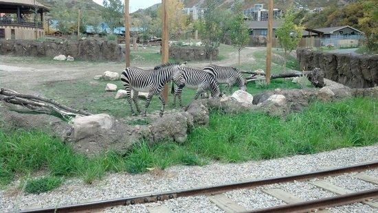 Utah's Hogle Zoo: Zebras wander their area