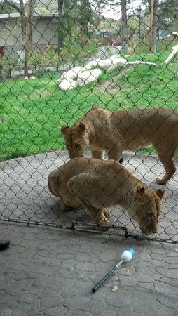 Utah's Hogle Zoo: Lions come over for a treat
