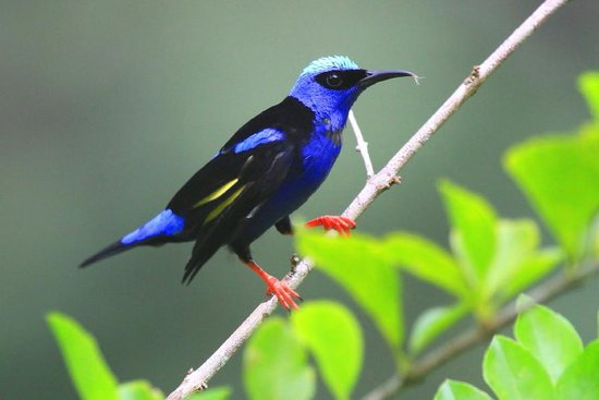 Canopy Tower: Red legged Honeycreeper