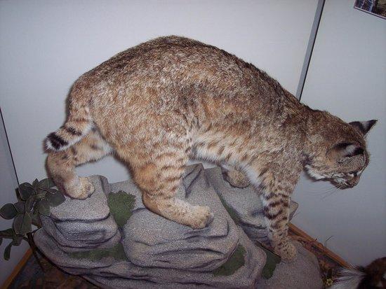 Hurstville Interpretive Center: bobcat