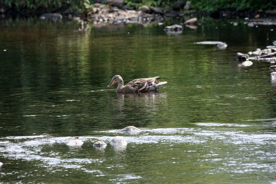 Hampton Inn & Suites Stamford: Mill River Park duck
