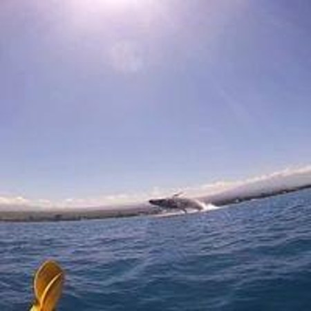 Kohala Kayak Club: Whale breaching.   Almost got splashed.