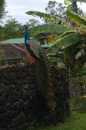 Panaewa Rainforest Zoo and Gardens: Peacocks love to have their picture taken