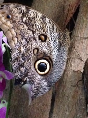 Sachs Butterfly House : Owl butterfly