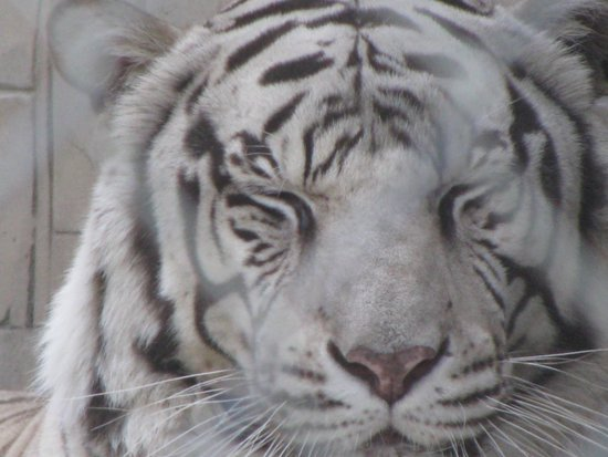 Cat Tales Zoological Park: A Cat Tales White Tiger