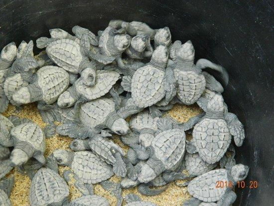 Hotel Suites Villasol: liberacion de tortugas