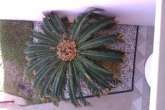 Tropical Manor: palmier nain