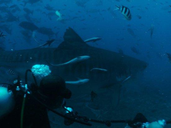 Waidroka Bay Resort: Shark dive