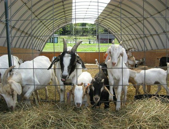 Adams Family Farm: Friendly goats waiting for visitors to feed them :)