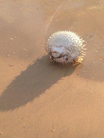 Jimbaran Bay: Hey look! A dead blowfish right on the beach!