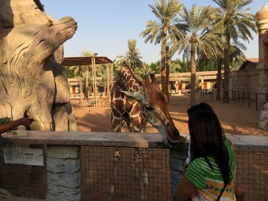 Emirates Park Resort: Feeding adorable giraffes