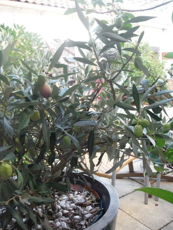 Cote Patio Hotel Nimes : Real olives, just outside our window