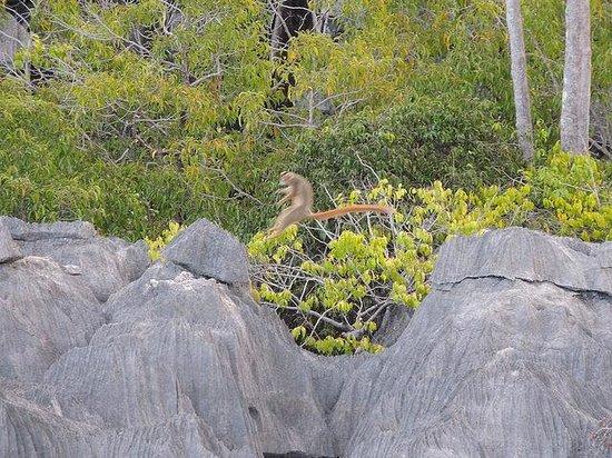 Ankarana Reserve: Lemur jumping over ravine in tsingy by suspension bridge