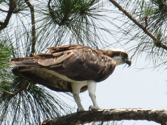 Naples Botanical Garden : Osprey surveying it's domain in the botanical gardens