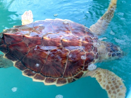 The Turtle Hospital: just one of the many Turtles being cared for at the Hospital