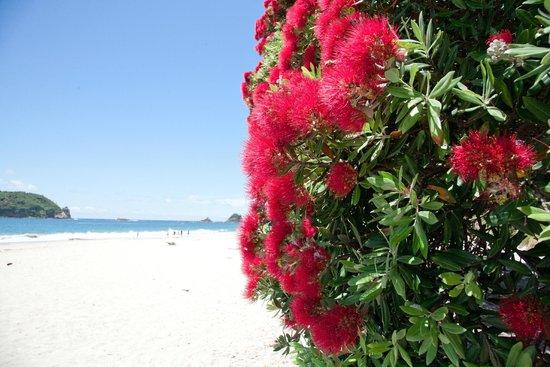 Hahei Beach Walk: Hahei Beach - Pohutukawa flowers in bloom