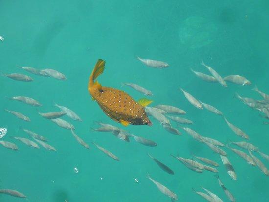 yellow boxfish  Grand Resort 5*, Єгипет,  Хургада - photo