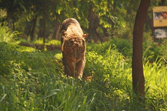 Visakhapatnam Zoo: White tiger in Vizag Zoo.