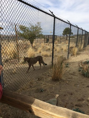 Cheetah Strolling By The Fence Picture Of Animal Ark Reno