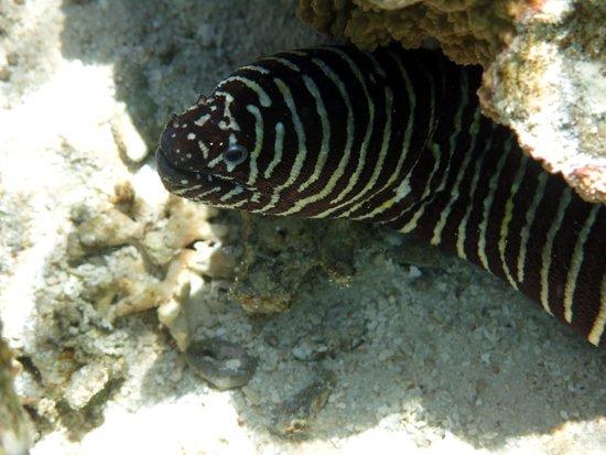Aroa Marine Reserve: Zebra Moray