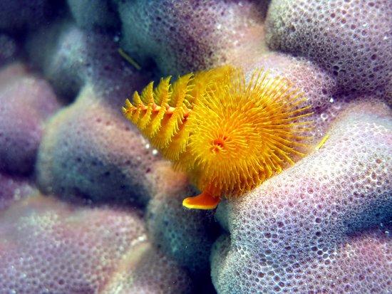 Aroa Marine Reserve: Christmas Tree Worm